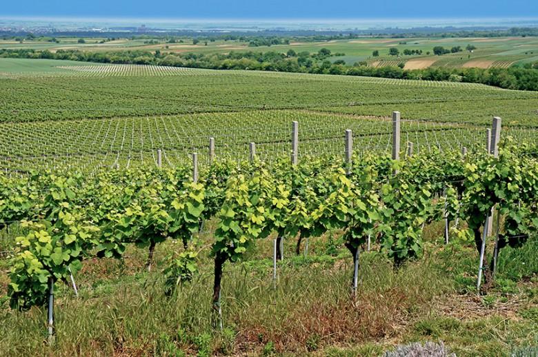 Uskoro natječaj za mjeru Restrukturiranje i konverzija vinograda iz Nacionalnog programa pomoći sektoru vina 2019.-2023.