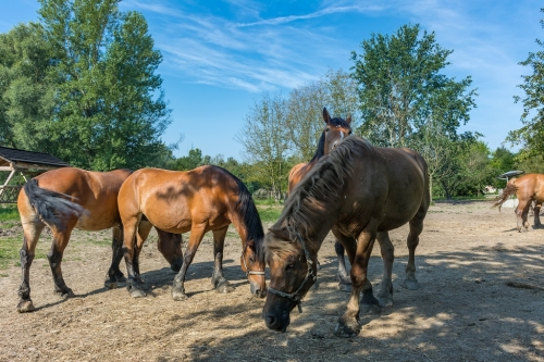 Zeljko Matulic Ergela Međimurskog konja