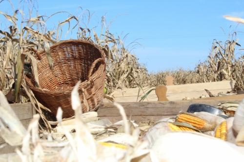 Kako nastaje cekar - branje kukuruza i luščara